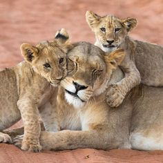 lion cubs chewing on their patient mom. -Frisky little lion cubs chewing on their patient mom. -little lion cubs chewing on their patient mom. -Frisky little lion cubs chewing on their patient mom. Cute Baby Animals, Animals And Pets, Funny Animals, Mother And Baby Animals, Animals Images, Funny Cats, Big Cats, Cats And Kittens, Cute Cats
