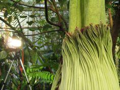 Berkeley 'Corpse Flower' Blooming Soon in All Its Disgusting Glory | KQED Science