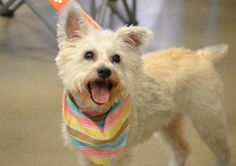 Star is an adoptable West Highland White Terrier Westie searching for a forever family near Florence, KY. Use Petfinder to find adoptable pets in your area. White Terrier, Terrier Mix, My Best Friend, Best Friends, West Highland White, Westies, Yorkie, Animal Rescue, Pet Adoption