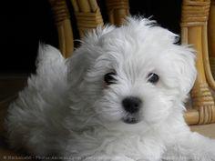 Photo de Chiens > Coton de tulear > Bianca > N° 557715 sur Photos-