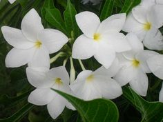 beautiful white tropical flowers of Roatan, Honduras #WayfareJourneys