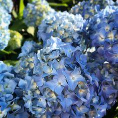 あじさい  紫陽花  hydrangea  iphone7 Растения
