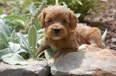 SkyeDoodles.com: Orange Boy is almost ready to go home!! #labradoodle #australian_labradoodle #puppies #puppy #GA #Georgia #doodles #doodle