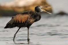 African openbill | Anastomus lamelligerus | Visit Uganda the Pearl of Africa with Kwanza Tours | www.kwanzatours.com | info@kwanzatours.com