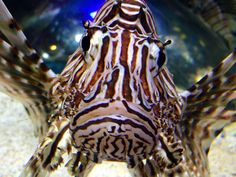 Lion fish face to face