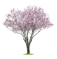 Find Blossoming Pink Sacura Tree Isolated On stock images in HD and millions of other royalty-free stock photos, illustrations and vectors in the Shutterstock collection. Landscape Elements, Landscape Materials, Tree Plan Png, Tree Psd, Tree Photoshop, Family Tree Poster, Pink Trees, Tree Roots, Watercolor Trees