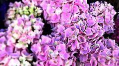 GaleryPhoto / Ružová hortenzia