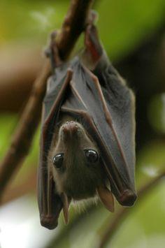Honduran Ghost Bat   Honduran Ghost Bat
