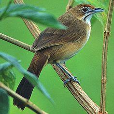 Melocichla mentalis (Moustached grass-warbler, Moustached warbler)