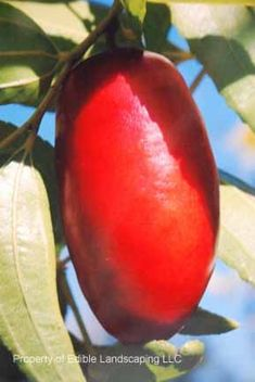"""Tigertooth Jujube - Zizyphus jujuba - Tigertooth is a long, slender date-shaped fruit, up to 2.5 """" in length. Very sweet and a favorite of Paul Miller, who was the curator at the Gainesville, FL jujube collection. Zone 6-9."""