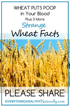 Wheat Puts Poop in Your Blood – Plus 3 More Strange Wheat Facts