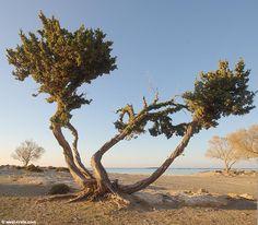 Juniper tree in Elafonisi   - click to enlarge