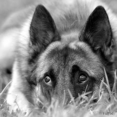 Reminds me of my German shepherd!!! I miss him!! :(
