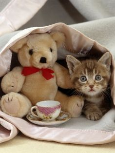 Tea Time Domestic Cat, Brown Ticked Tabby Kitten, Under Blanket with Teddy Bear Cute Kittens, Cats And Kittens, Cats Meowing, Ragdoll Cats, I Love Cats, Crazy Cats, Baby Animals, Cute Animals, Cute Bear