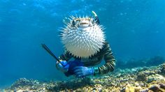 Blowfish head