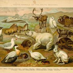 Native Animals of the Arctic 1891 Victorian Chromolithograph ... off to a new home!