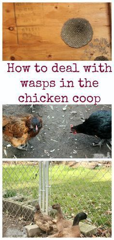How do deal with wasps in the chicken coop