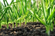 Photo about Green garlic plants growing in soil, agriculture background. Image of field, grow, growing - 19603987 Organic Garlic, Grow Organic, Harvesting Garlic, Sante Bio, How To Make Compost, Advantages Of Watermelon, Growing Vegetables, Agriculture, Gardens