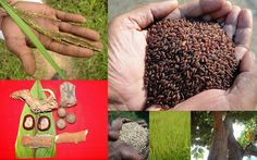 Medicinal Rice based Tribal Medicines for Diabetes Complications and Metabolic Disorders (TH Group-763) from Pankaj Oudhia's Medicinal Plant Database. Encyclopedia of Tribal Medicines by Pankaj Oudhia. #TribalMedicines