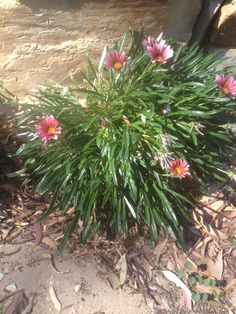 Gazania Hybrid (gazania): Your plant appears to be one of many gazania hybrids. It is  prized for its colorful display of daisy-like floral color in late spring-early summer from gray-green foliage. Does best in full sun and moderate to regular water. Wonderful as a ground cover or in hanging baskets.