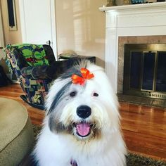 Old English Sheepdog English Dogs, Old English Sheepdog, Sheep Dogs, Doggies, Kinds Of Dogs, Lovely Creatures, Animals Beautiful, Roxy, Fur Babies