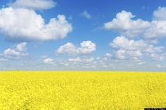A field of canola flowers, which are used for canola oil production in Ukraine's countryside (Getty) Mother Earth, Mother Nature, Canola Flower, Canola Field, Felder, Fantastic Art, Eastern Europe, Natural World, Landscape Photos