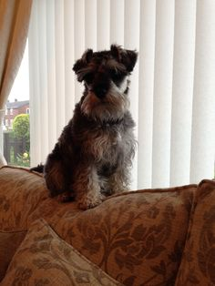 JUST ON LOOK OUT! #minischnauzer