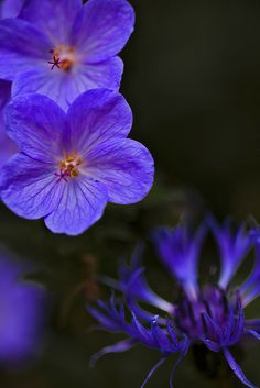 Johnson's Blue Geranium by JD's Photography Amazing Flowers, Purple Flowers, Beautiful Flowers, Blue Geranium, Perennial Geranium, Flowers For Algernon, Planting Flowers, Flower Gardening, Garden Inspiration