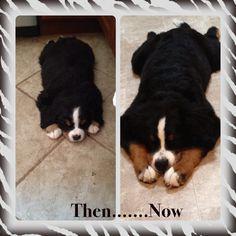 Bernese Mountain Dog, 1 year
