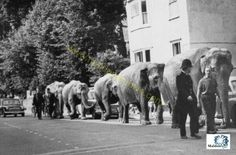 Exercising the elephants from Billy Smart's Circus High Street Maldon 1967 by Maldon Archive Vintage Circus Photos, Wild West Show, Picture Boards, Travel Around, Old Photos, Rock N Roll, Archive, Carnivals, History
