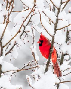 Male northern cardinal bird in winter snow storm on branch of red berries - Angry bird! Description from pinterest.com. I searched for this on bing.com/images