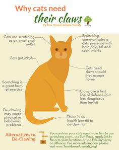 Why do cats needs their claws? #cats-- It's so important that you don't have your kitty's claws removed. Read this infographic and learn about the cat's claw and at the end there are tips on what you can do to prevent Your Cat from scratching you or your furniture.