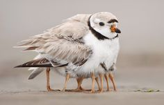 Credit: Michael Milicia/Solent News & Photo A piping plover takes its four newborns under its wing to keep them warm