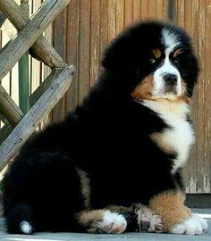 Hug me. Hug me now. ------------ (Berner puppy)...ok if you insist! #BerneseMountainDog