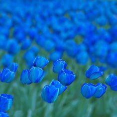 en el aire I know our flower is a fleur-de-lis/ iris, but I can't resist these beautiful blue tulips!I know our flower is a fleur-de-lis/ iris, but I can't resist these beautiful blue tulips!