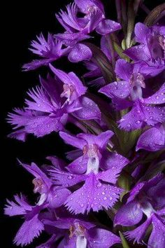 Platanthera grandiflora is one of our more spectacular native orchids. This one was near Craggy Gardens in NC. Exotic Flowers, Amazing Flowers, Purple Flowers, Beautiful Flowers, Orchid Flowers, Purple Orchids, Purple Love, All Things Purple, Shades Of Purple