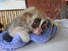 Baby Slow Loris - Thailand