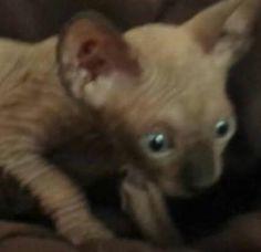 #sphynx#kittens#for sale#very bald#barebottomsphynx.com#9516986615#