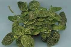 Fittonia albivenis Argyroneura group 'Nana' 1 x 2 leaves 4 to 6 in tall Nerve Plant, Tree Identification, Terrarium Plants, Small Leaf, Tiny Flowers, Begonia, Tropical Plants, Window Sill, Air Plants