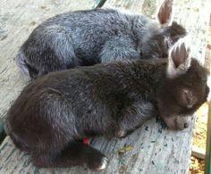 Minature baby donkey's...