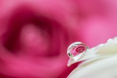 Rose drop by Asuka Sato on 500px