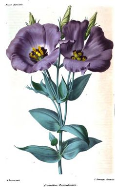 Lisianthus Russellianus. Plate from 'Revue Horticole' (1863). https://archive.org/stream/revuehorticole11frangoog#page/n5/mode/2up