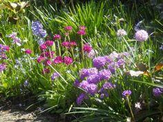 --Primroses-- Spring in Verna's garden in British Columbia--click through to see more photos of this garden!