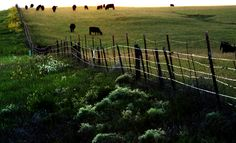 Eastern Plains Livestock_06 | Cows... doing what cows do.