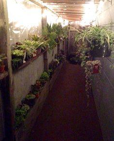Susan's garden,  cymbidium orchid, hanging plants, lighted greenhouse, murphyfrog