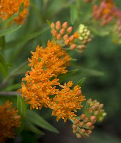 Lawn and Garden Tools Basics 15 Impossible-To-Kill Outdoor Plants Butterfly Weed: Monarch Butterflies Lay Their Eggs On The Leaves Of The Milkweed Plant, Since The Leaves Are The Only Source Of Food For Monarch Caterpillars. Backyard Flowers, Garden Pests, Plants, Butterfly Garden, Hardy Plants, Milkweed Plant, Survival Gardening, Shade Plants, Drought Tolerant Plants