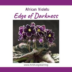 Edge of Darkness (10677) 03/19/2014 (Paul Sorano/Lyndon Lyon Greenhouses) Semidouble dark purple star/frilled white edge. Variegated dark green and ivory, serrated/red back. Large #edgeofdarkness #lyndonlyonviolets #AVSA #africanviolet #indoorplant #houseplant #saintpaulia #senpolia #africanvioletlovers #fialka #africanvioletsocietyofamerica #flowers #bloom #fialki Easy House Plants, Saintpaulia, Dark Purple, Houseplants, Indoor Plants, Bloom, African, Inside Plants, Indoor House Plants