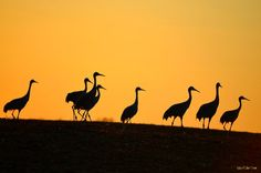 The SAND HILL CRANE MIGRATION of SOUTHERN INDIANA by Julie Dant, via Behance
