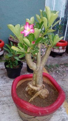 Desert Rose Plant, Planting Roses, Bonsai, Cactus, Deserts, Plants, Gardens, Front Yard Design, Desert Rose