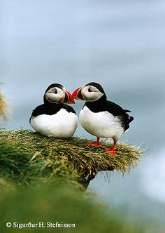 A pair of puffins, sea cliff of Iceland's south coast. ** These birds are so pretty and their beaks are just lovely.